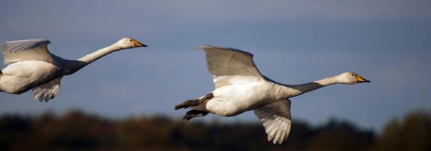 Whooper Swans, Martin Mere WWT, Burscough